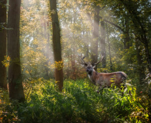 FALLOW BUCK by Sam Segar