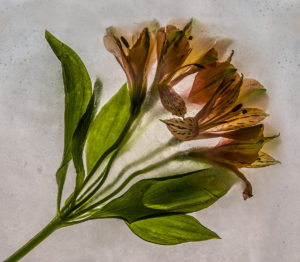 ALSTOEMERIA IN ICE by Geoffrey Lauder